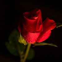 """Из серии """"Розы и грезы"""" :: Елена"""