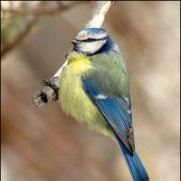 Синица -лазоревка :: Gavrila68 -Женя