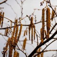 Ольхи цветение. :: Павел Бескороваев
