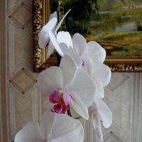 Орхидея Фаленопсис . :: Ирина