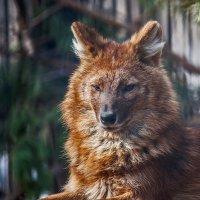 Волк красный :: Владимир Габов