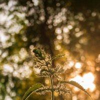 Крапива на закате :: Дмитрий Костоусов