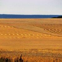 Хлебное поле :: Сергей Чиняев