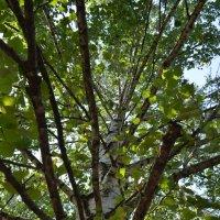 Ветви дерева :: Сергей Тагиров
