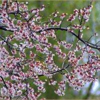 цветение абрикоса :: Сергей Савич.