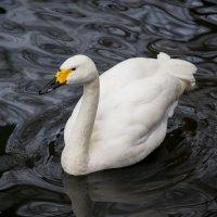 А белый лебедь на пруду... :: Виктор М