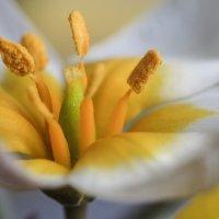 Дикий тюльпан Дасистемон Тарда :: Надежда