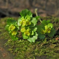 Цветы с болота. :: Лена Минакова