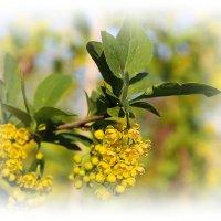 Барбариски во цвету.... :: Tatiana Markova