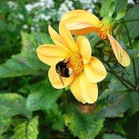 Шмель на цветке :: Маргарита Батырева
