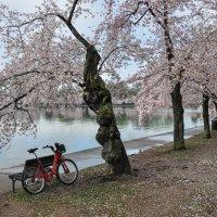 Cherry blossom in DC (2) :: Юрий Матвеев