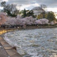 Cherry blossom in DC (3) :: Юрий Матвеев