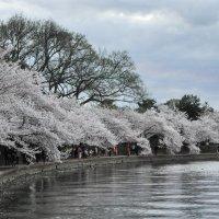 Cherry blossom in DC (4) :: Юрий Матвеев