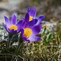 весна. сон-трава :: Sergey Baturin