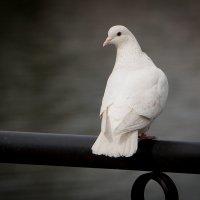 Белая голубка :: Виталий Латышонок