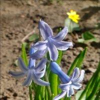 Весна из нашего двора.  Первоцветы :: Нина Корешкова