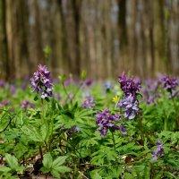 весенние цветы :: юрий иванов