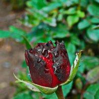 бутон розы.... :: Юрий Владимирович