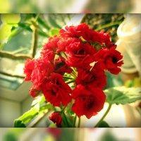 это не роза---это герань! :: tgtyjdrf