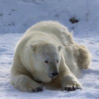 Белый медведь :: Savayr