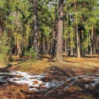 Проснулись запахи лесные... :: Лесо-Вед (Баранов)