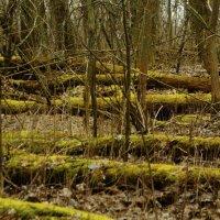 В весеннем лесу ... :: Игорь Малахов