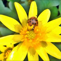 Закопалось солнышко в солнечный цветочек... :: Нина Корешкова