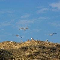 Черноморские чайки :: Алиса Терновая