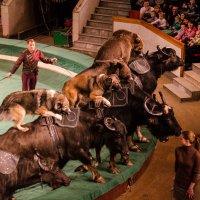 Медведи на африканских буйволах :: Ирина Анчутина