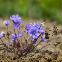 Первые весенние цветы :: Александр Мезенцев