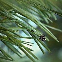 гнездо на сосновых иголках :: Сергей Розанов