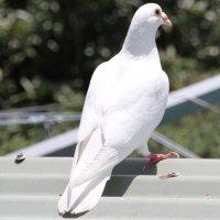 Белый голубь.Австралия.Сидней :: Антонина