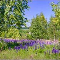 Цветут люпины :: Александр Лихачёв