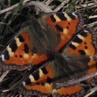 бабочки :: константин