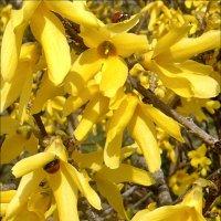 Весна! Цветёт форзиция :: Нина Корешкова