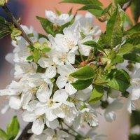 Черешня цветет :: Marina K