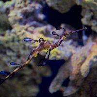 Еще немного из жизни морских обитателей - морской дракон :: Виктор М