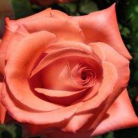 Глазами роз на нас посмотрит лето... :: Irina