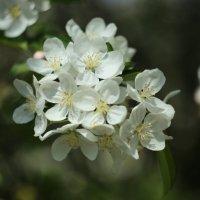 Цветущая яблоня :: Татьяна Кочеткова