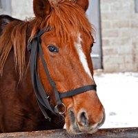 Рыжий конь... :: Татьяна Губина