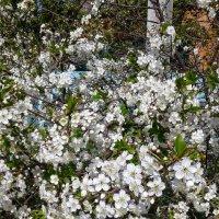 вишня в цвету :: Елена Константиниди
