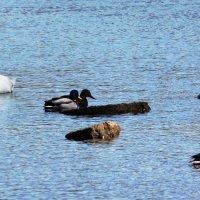 лебеди на реке редкие гости :: linnud