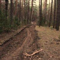 Сосновый лес :: Надежда Пеночкина