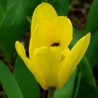 Жёлтый тюльпан с сюрпризом... :: Тамара (st.tamara)
