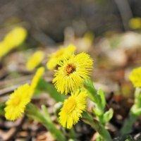 Первые желтые цветочки :: Валентина Ломакина