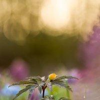 Ветреница лютиковая. :: Андрей Ветров