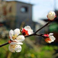 Абрикосы цветут. :: Валентина ツ ღ✿ღ