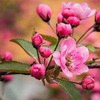 Цветение яблони :: Сергей Форос
