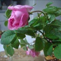 Мокрая роза :: Нина Корешкова