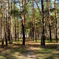 Весенний лес. :: Валентина Домашкина
